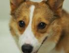 高品质柯基犬出售 疫苗驱虫已做 保证血统健康