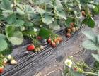 2019一年一度草莓季节到啦亲们行动起来
