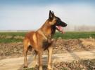 纯种马犬 自家养殖 品相一流 包健康 可签协议 上门选狗