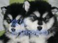出售纯种巨型阿拉斯加雪橇犬幼犬桃脸十字脸活体宠