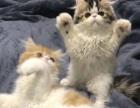 加菲猫1500-4000元自家繁育!!找新家