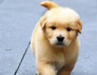 重慶狗場出售三個月純種金毛,疫苗齊全健康保障