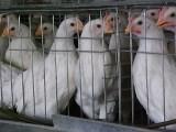 青年鸡厂家-夏津三益育成鸡供应实惠的青年鸡