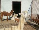 长颈鹿,斑马,羊驼,袋鼠,矮马等进口动物对外租赁