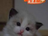名猫后代 双血统 带CFA证书 高品质布偶幼猫