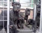 昆明哪里有卖二三个月卡斯罗幼犬的,多少钱一只