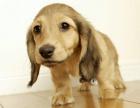 纯那种双血统腊肠犬健康保障60天 送货上门