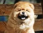 自家大狗生的一窝松狮可以来家里看大狗品相