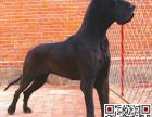 哪里有卖大丹犬大丹犬多少钱