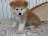 银川纯种秋田价格,银川哪里能买到纯种秋田犬