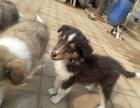 哪里有卖纯种双血统苏格兰牧羊犬纯种的长什么样子