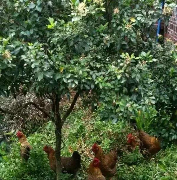 体验农家乐自摘新会柑果 活捉走地鸡散养野山鸡土鸡