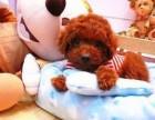 出售纯种泰迪犬茶杯玩具迷你等体型/多色可选/包纯种健康