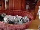 哈尔滨哪里有美短猫虎斑加白卖 纯血统 萌翻你的眼球 品质保障
