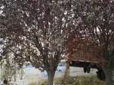池州50公分国槐树基地提供多种苗木