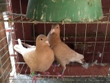 潮州市凤凰洲黄金甲信鸽