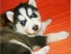 哈士奇犬三个月 驱虫疫苗已做完 购置签署活体协议