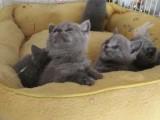 自家出售健康活泼蓝猫及蓝加白 定期打苗 支持来家看猫