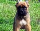 出售纯种意大利护卫犬卡斯罗幼犬 猛犬卡斯罗 包健
