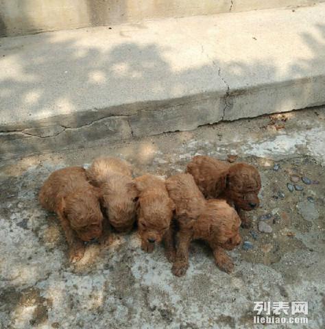 可爱的刚出生的泰迪狗狗出售了