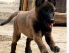 上海哪里有马犬卖 泰迪金毛哈士奇秋田博美阿拉多少钱价格