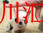 川汇区专业繁殖高品质吉娃娃幼犬、可看狗父母、签活体协议