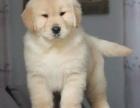 重庆里出售金毛犬 重庆金毛犬多少钱
