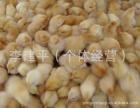 寿光永林火鸡出售火鸡苗 火鸡蛋