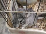 三个月大的龙猫转让