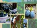 冰莓庄园 冰莓庄园加盟招商