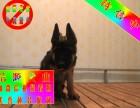 北京实体德牧犬舍 德牧犬 当时化验健康签协议