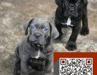 犬舍卡斯罗幼犬,品质超好 质量终保卡斯罗犬