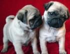 济南本地犬舍出售2个多月的,巴哥犬,血统纯正,保证健康