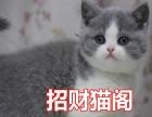 出售英国短毛猫 英短蓝白 疫苗和驱虫已经做好的