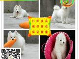 纯种微笑天使萨摩耶幼犬赛级犬后代保健康可视频签