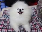 美系俊介犬 哈多利球型博美犬白美佳选 超萌超可爱