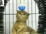 纯种血统波斯猫宝宝 喜欢的话电联来家里看猫咪吧