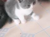 精品英短小蓝猫喵