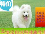 澳熊版微笑白天使 骨量大 毛量多 上海免费送上