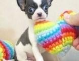 北京犬舍出售纯种茶杯体吉娃娃幼犬 黄黑白花宠物狗