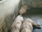 养猪场低价转让或者出租