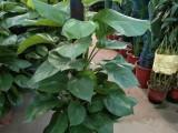专业室内外绿植养护租赁免费上门看环境免费配送