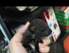 魔王松鼠幼鼠仅售266
