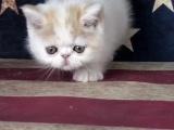 加菲猫猫舍直销 水滴眼眼鼻一线 纯种健康幼猫异短