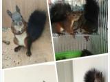 黄山松鼠魔王松鼠林场繁殖区转让
