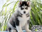 出售纯种哈士奇幼犬 哪里卖健康哈士奇多少钱 哈士奇价格