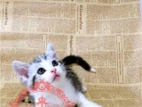 ㉮㈔ C F A 猫舍出售纯种美国短毛猫美短