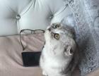 出售甜美可爱折耳小猫咪 多个颜色 多个品种三针做齐
