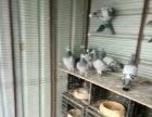 鸽子 黑点子鸽子出售