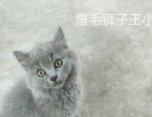 自己家养三个月蓝猫
